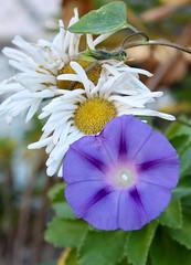 An Autumn Pair (joecomper) Tags: morningglory daisy gerberadaisy purpleflower whiteflower perennial annual garden