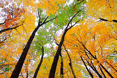 Fall Colors   ...EXPLORED  10-21-2019 (imageClear) Tags: fall leaves autumn beauty natauare nature wisconsin glenbeulah orange lovely trees aperture nikon d600 2470mm 2470f28e treetops imageclear flickr photostream