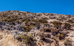 oreocereus leuchotrichus - along Route 11 near Putre in northern Chile 3 (Russell Scott Images) Tags: oreocereusleucotrichus echinocactusleucotrichus arequipaleucotricha borzicactusleucotrichus oreocereushendricksenianus borzicactushendriksenianus putre route11 cactus cacti chile