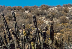 columnar cacti - along Route 11 in northern Chile (Russell Scott Images) Tags: route11 cactus cacti chile
