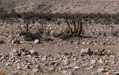 columnar cacti - along Route 11 in northern Chile 2 (Russell Scott Images) Tags: route11 cactus cacti chile