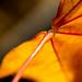 Herbst-6 (roswithaantoniak) Tags: herbst blatt orange stiel