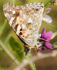 Just beautiful (frankdorgathen) Tags: vitt fischerdorf fishingvillage fishervillage rügen mecklenburgvorpommern summer sommer alpha6000 sony butterfly schmetterling animal tier fauna