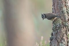 Crested Tit (jamiemcd17) Tags: tit crestedtit wild wildlife bird nature scotland cairngorms lochgarten nikon