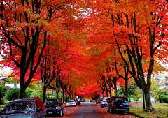 Awash in a sea of red Maples: Happy Sunday! (+3) (peggyhr) Tags: peggyhr autumn mapletrees red wet rainy reflections fallenleaves dsc09278ax vancouver bc canada dreamsilldream coloremiomondo ♪•lamiasonata~ arborsquare~anaturegroup~ super~sixbronze☆stage1☆ niceasitgets~level1 niceasitgets~level2 50faves