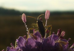 Bugs View..x (Lisa@Lethen) Tags: bug view scabious scabiosa wild flower field nature macro purple insect autumn