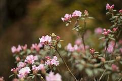 (louisa_catlover) Tags: nationalrhododendrongardens dandenongrangesbotanicgarden garden nature outdoor dandenongs olinda melbourne victoria australia spring helios helios442 manual bokeh dof flowers pink azalea