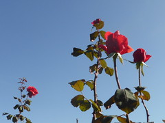 P1090530 (amalia_mar) Tags: roses flowers fiori flora sky blue red green sundaylights colorfulnature exactlytricolorsunday