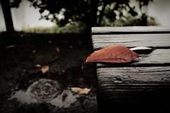 rainy day (Sat Sue) Tags: olympus micro four thirds penf japan fukuoka leaf raindrops bench 43