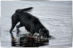 Snorkling Practice (42/52) (Missy2004) Tags: nikkorafs18140mmf3556gedvr 52weeksfordogs tiva flatcoatedretriever puddles explored