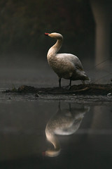 wildlife15-4419 (berwein.thomas) Tags: swan animal bird wildlife wild pond