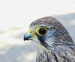 Kestrel (Mr Clive) Tags: raptor kestrel bird