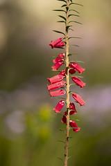 Epacris (louisa_catlover) Tags: karwarra karwarraaustraliannativebotanicgarden garden botanicgarden kalorama dandenongs melbourne victoria australia nature outdoor spring flowers red epacris heath ericaceae