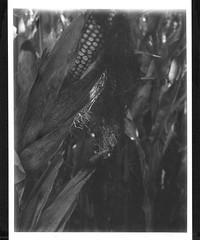 maïs (JJ_REY) Tags: maïs corn automne autumn instantfilm mediumformat fuji fp3000b bw toyofield rodenstock aposironarn150mmf56 polaroidback405 colmar alsace france