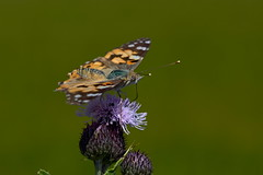 Photo of Painted Lady