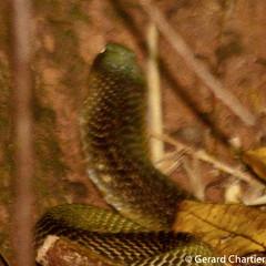Naja kaouthia (Monocled Cobra) (GeeC) Tags: naja elapidae tatai animalia serpentes reptilia nature chordata squamata kohkongprovince cambodia najakaouthia