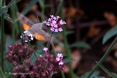 20191019-10 oktober-47 (mgmargot) Tags: 2019 europa mook nederland dieren insecten kolibrivlinder natuurenlandschap oktober waar wanneer wat