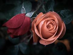 Rosen mi Tau, roses with dew droplets (fritz polesny) Tags: panasonicg9 30mm rose roses garten garden tau dew
