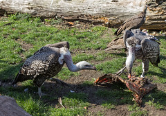 Zoo - Impressionen (Helmut44) Tags: germany deutschland sachsenanhalt zoo magdeburgerzoo tierwelt vogel greifvogel bird animal geier aas naturfotografie naturephotography
