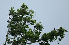 Chestnut-headed Oropendola  --- Psarocolius wagleri (creaturesnapper) Tags: birds panama chestnutheadedoropendola psarocoliuswagleri