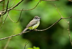 Panama Flycatcher  --- Myiarchus panamensis (creaturesnapper) Tags: birds panama flycatchers panamaflycatcher myiarchuspanamensis