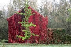 Herfst (just.Luc) Tags: herfst autumn automne herbst red rood rouge rot rosso rojo tree boom baum arbre árbol house haus huis maison ruisbroek puurs puurssintamands kleinbrabant belgië belgien belgique belgium belgica vlaanderen flandres flanders