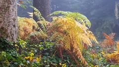 Yellow Fern (Role Bigler) Tags: emmental farn fern herbst natur radioactivelens takumar takumarsmc1450mm autumn fall forest nature schweiz suisse switzerland wald wood yellowfern