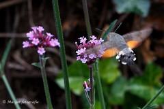20191019-10 oktober-50 (mgmargot) Tags: 2019 europa mook nederland dieren insecten kolibrivlinder natuurenlandschap oktober waar wanneer wat