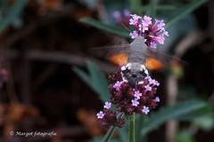 20191019-10 oktober-49 (mgmargot) Tags: 2019 europa mook nederland dieren insecten kolibrivlinder natuurenlandschap oktober waar wanneer wat