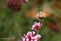 20191019-10 oktober-43 (mgmargot) Tags: 2019 europa mook nederland dieren insecten kolibrivlinder natuurenlandschap oktober waar wanneer wat