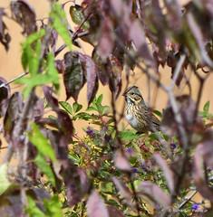 Lincoln's Sparrow_6654_00001-001 (Henryr10) Tags: miamieriehistoriccanal gilmoremetropark gilmorepondspreserve hamiltonoh preserve usa ohio avian bird vogel ibon oiseau pasare fågel uccello tékklistar songbird lincolnssparrow sparrow melospizalincolnii melospiza lisp