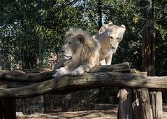 Zoo - Impressionen (Helmut44) Tags: germany deutschland sachsenanhalt zoo magdeburgerzoo tierwelt animal löwe lion naturfotografie naturephotography