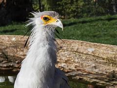 Zoo - Impressionen (Helmut44) Tags: germany deutschland sachsenanhalt zoo magdeburgerzoo tierwelt tierporträt sekretär vogel greifvogel bird animal naturfotografie naturephotography