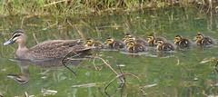 Pacific Black Duck family (Luke6876) Tags: pacificblackduck duck ducks ducklings bird animal wildlife australianwildlife nature family reflection water