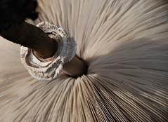 White rows (Gerlinde Hofmann) Tags: germany thuringia village bürden mushroom pilz parasolpilz parasolmushroom lamelle gill pattern rows