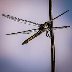 "Dragonfly (Paul"") Tags: dragonfly lumberton lumbertonnc northcarolina pfh hss"