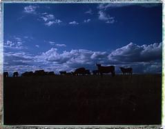 Symphonie pastorale (charlesp.) Tags: polaroid190 vaches nuages fujifp100c roidweek instantfilm cows clouds