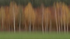 autumn (renatecamin) Tags: autumn birches herbst birken icm landschaft trees forest wald baum