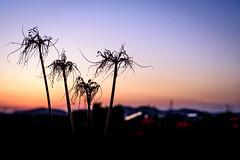 ヒガンバナ #11ーRed spider lily #11 (kurumaebi) Tags: yamaguchi 秋穂 山口市 nikon d750 nature landscape 花 ヒガンバナ 彼岸花 flower redspiderlily sunset 夕焼け dusk