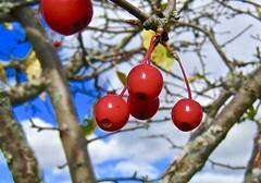 berries (muffett68 ☺ heidi ☺) Tags: berries hss redwhiteandblue