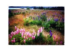 Lupins at Lake Tekapo (jasoux) Tags: laketekapo tekapo nz newzealand mackenziebasin outdoors nature flowers lupins analogue southisland canterbury