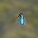 Kingfisher (robin elliott photography) Tags: kingfisher kingfishers bird birds waterbirds flight hover feathers blue nikon nikond850 outdoors outside