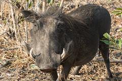 Warthog (pnjavery) Tags: warthog africa kruger safari ugly
