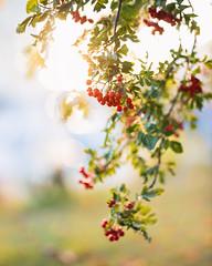 Uppsala, September 26, 2019 (Ulf Bodin) Tags: autumn sorbusaucuparia sverige canonrf85mmf12lusm uppsala sweden outdoor höst canoneosr rönnbär rowanberries uppsalalän