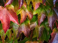 RM-2019-365-293 (markus.rohrbach) Tags: natur pflanze blatt rebe projekt365 thema fotografie farben