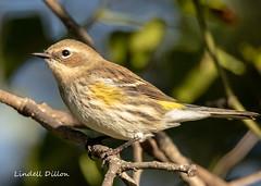 Yellow-rumped Warbler (Myrtle) (Lindell Dillon) Tags: yellowrumpedwarbler myrtle winterbirds bird birding nature migration oklahoma wildoklahoma