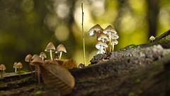Pilz-Bokeh (KaAuenwasser) Tags: bokeh pilze pilz licht schatten natur holz stamm herbst hut hüte oktober 2019 wetter wald ngc blatt blätter baum bäume jahreszeit tageszeit zeit monat pflanze pflanzen farbe farben lichter makro