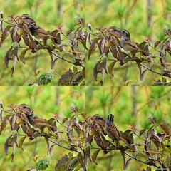 Swamp Sparrow_2019-10-19 (Henryr10) Tags: miamieriehistoriccanal gilmoremetropark gilmorepondspreserve hamiltonoh preserve usa ohio melospizageorgiana melospiza swampsparrow sparrow avian bird vogel ibon oiseau pasare fågel uccello tékklistar songbird swsp