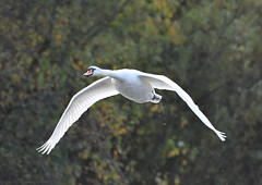 Elegant and graceful (Jason Prince Photography) Tags: nikon d7200 deans eliburn reservoir west lothian jason prince photography october 2019 mute swan british wildlife waterfowl scotland sigma telephoto 150mm 600mm monopod nikonflickraward