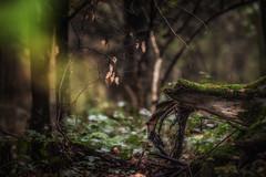 Im unter Holz (Karsten Höhne) Tags: wald totholz wurzel moos